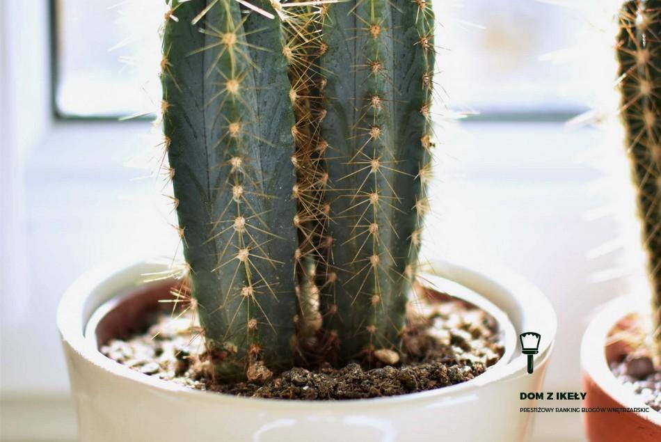 kwiaty w domu kaktus